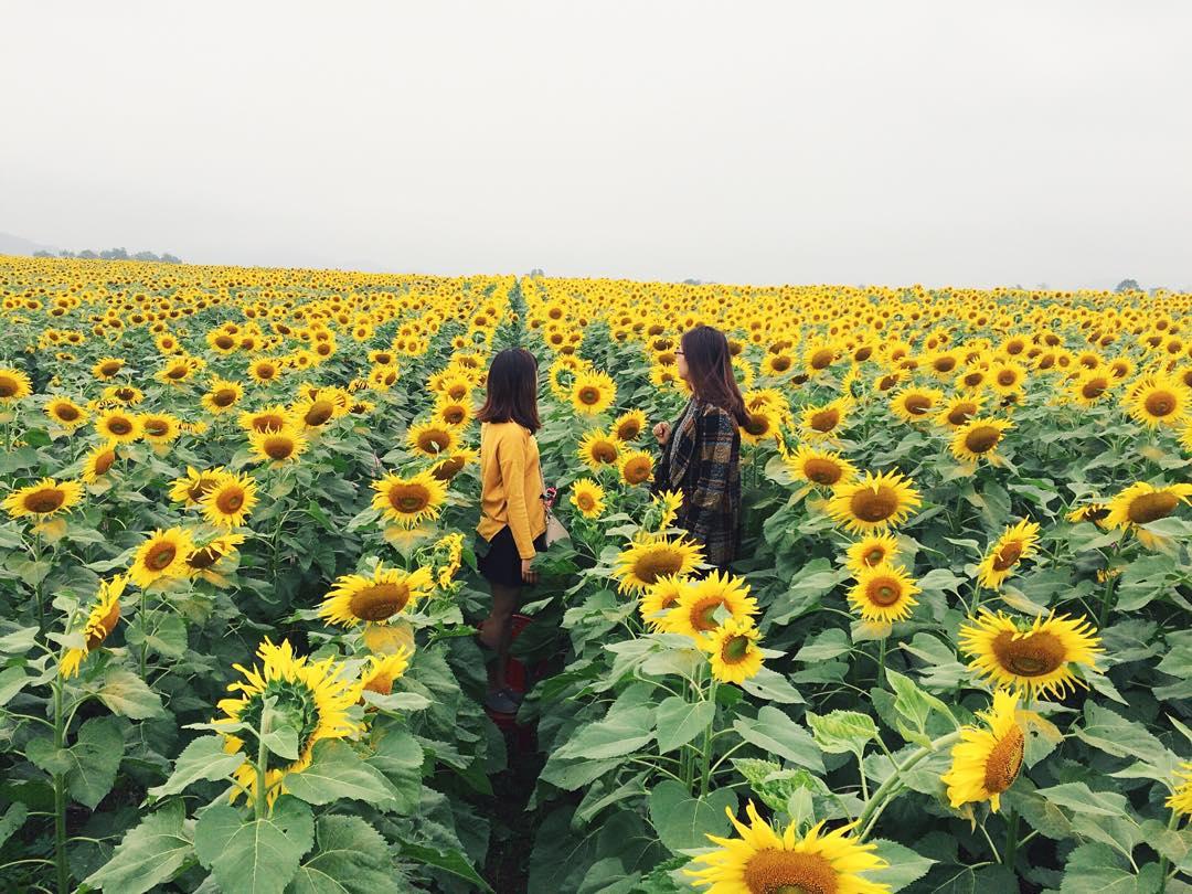Mê mẩn vẻ đẹp cánh đồng hoa hướng dương nổi tiếng tại Nghệ An - Ảnh 4.