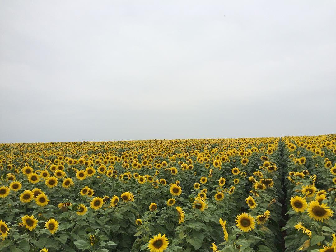 Mê mẩn vẻ đẹp cánh đồng hoa hướng dương nổi tiếng tại Nghệ An - Ảnh 8.