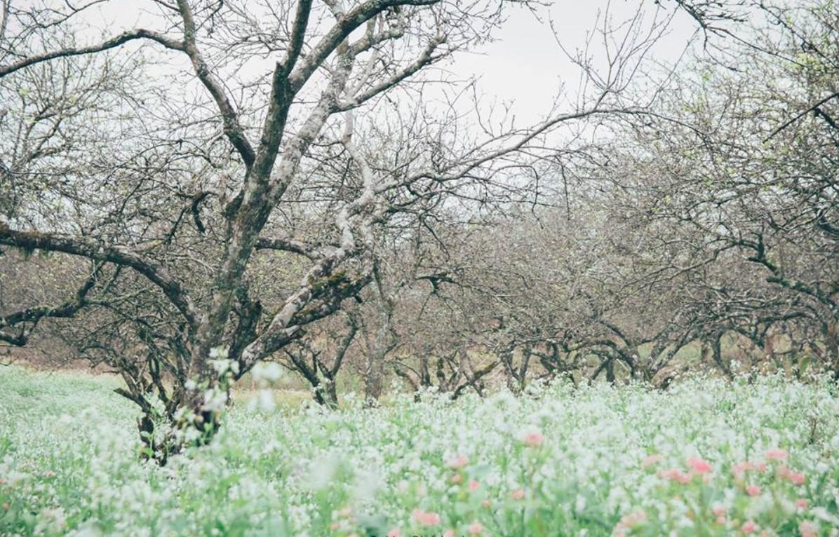 Ngẩn ngơ trước sắc trắng tinh khôi của cao nguyên Mộc Châu mùa hoa cải - Ảnh 1.