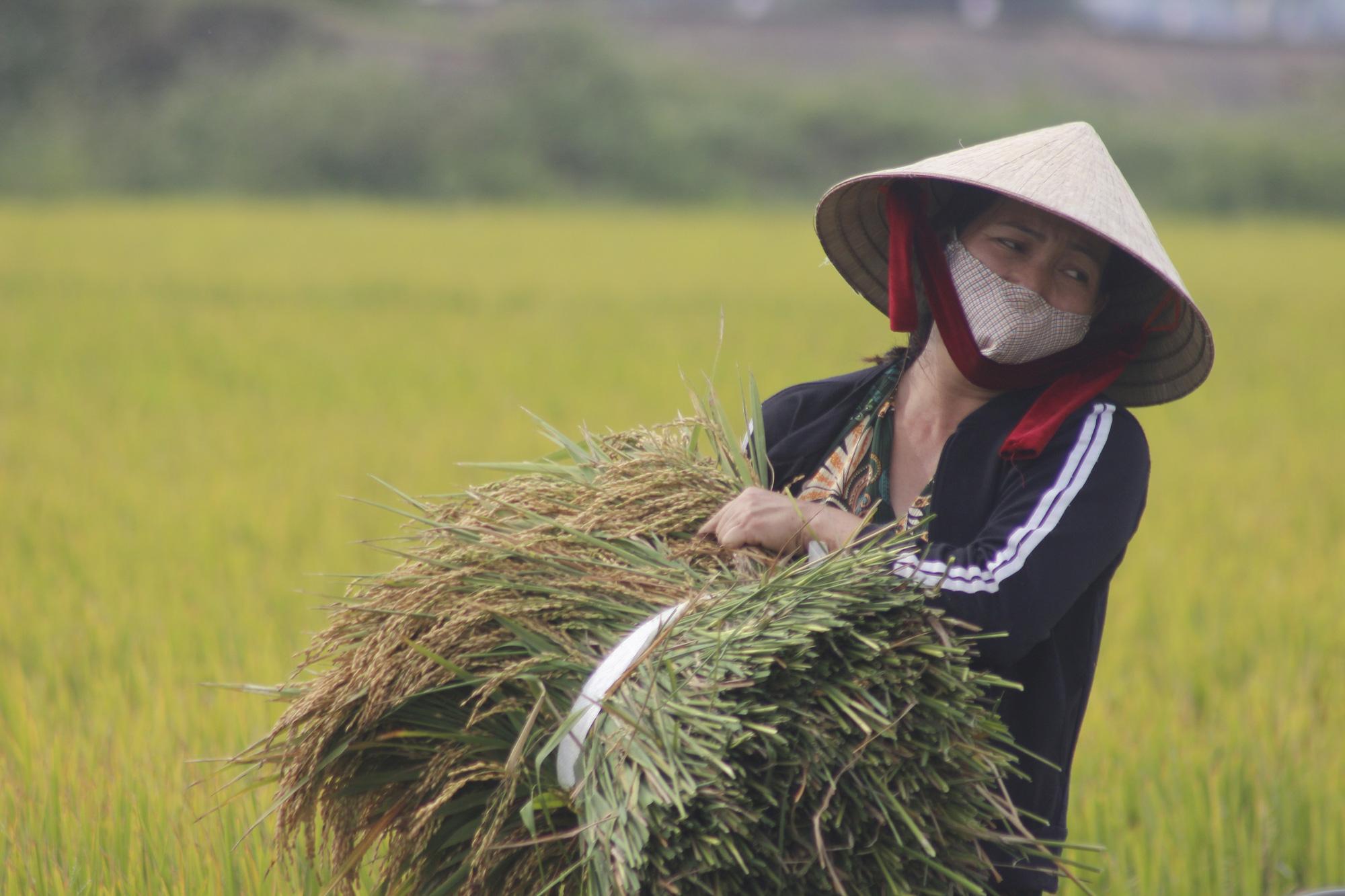 Gạo Việt Nam xuất khẩu 11.000 đồng/kg khiến gạo Thái Lan rớt giá kỉ lục - Ảnh 4.