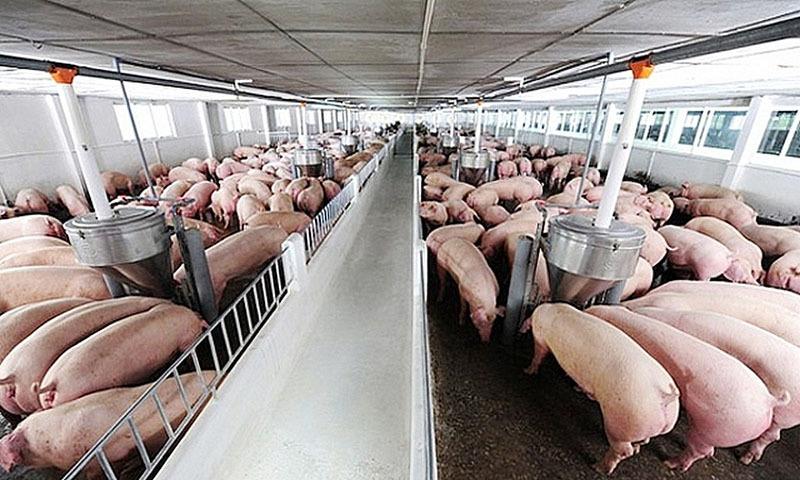 Giá thịt lợn lên mức 100.000 đồng/kg, dân không còn để bán - Ảnh 1.