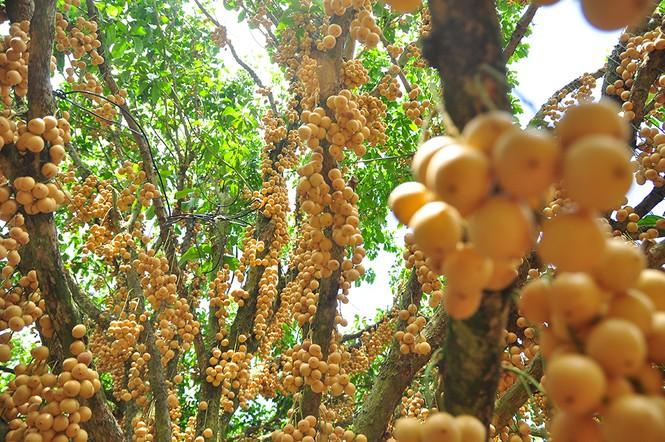'Đã mắt' với vườn dâu trái từ gốc đến ngọn ở miền Tây - Ảnh 7.