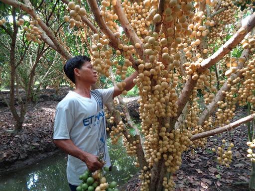 Trái cây miền Tây giá chỉ 1.000 đồng/kg tại vườn, lên chợ lẻ bán gấp 10 - Ảnh 1.