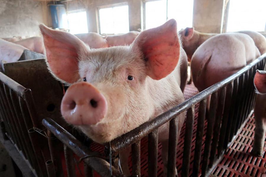 Chính thức nhập khẩu heo sống Thái Lan về nước để nuôi, giết mổ từ hôm nay - Ảnh 1.