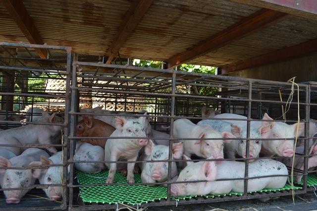Giữa mùa khan hiếm, đắt đỏ, tìm về chợ heo giống độc nhất Việt Nam - Ảnh 5.