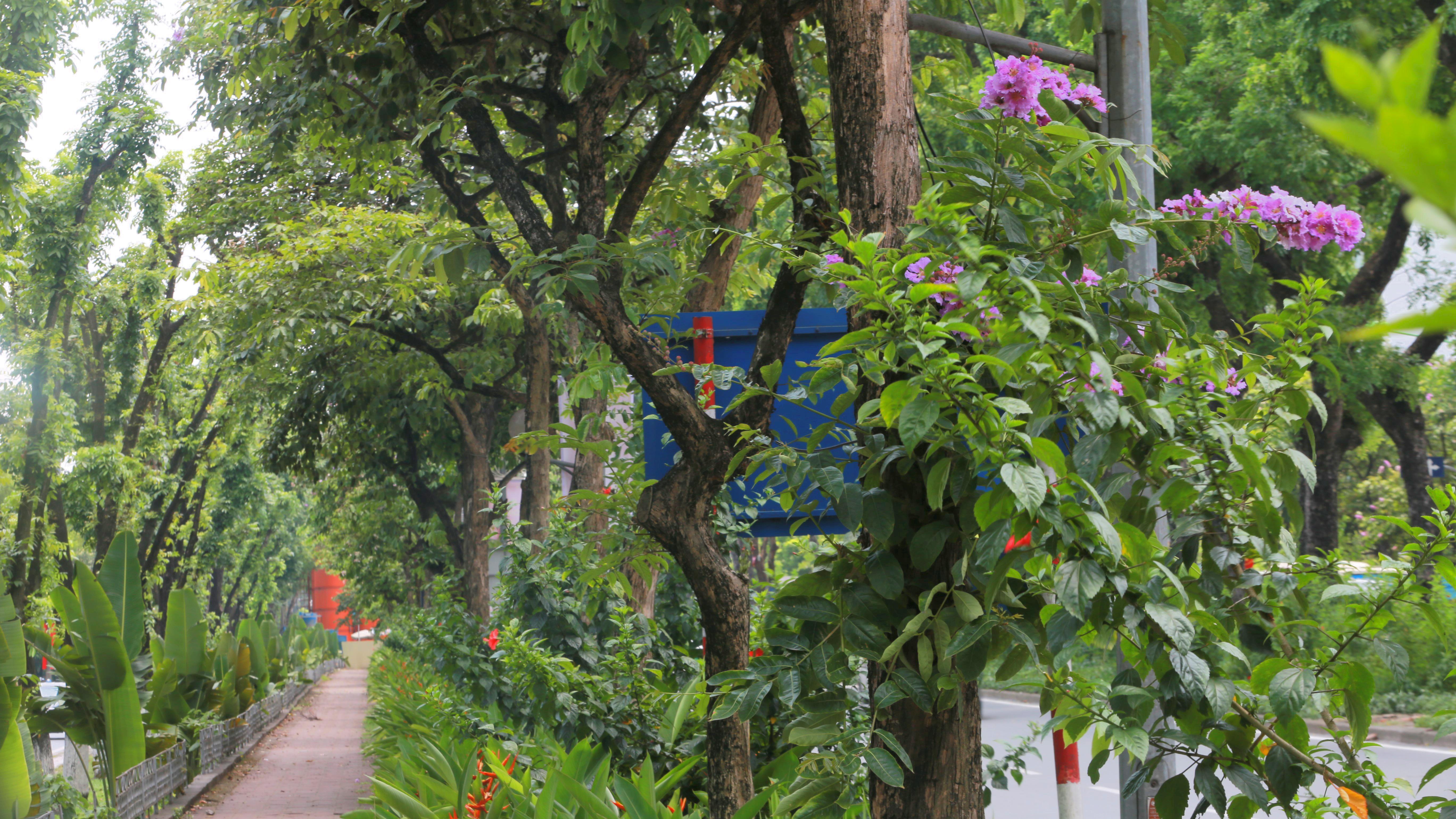 Đoạn đường Kim Mã từng di dời cây cổ thụ đang dần tái phủ xanh - Ảnh 6.