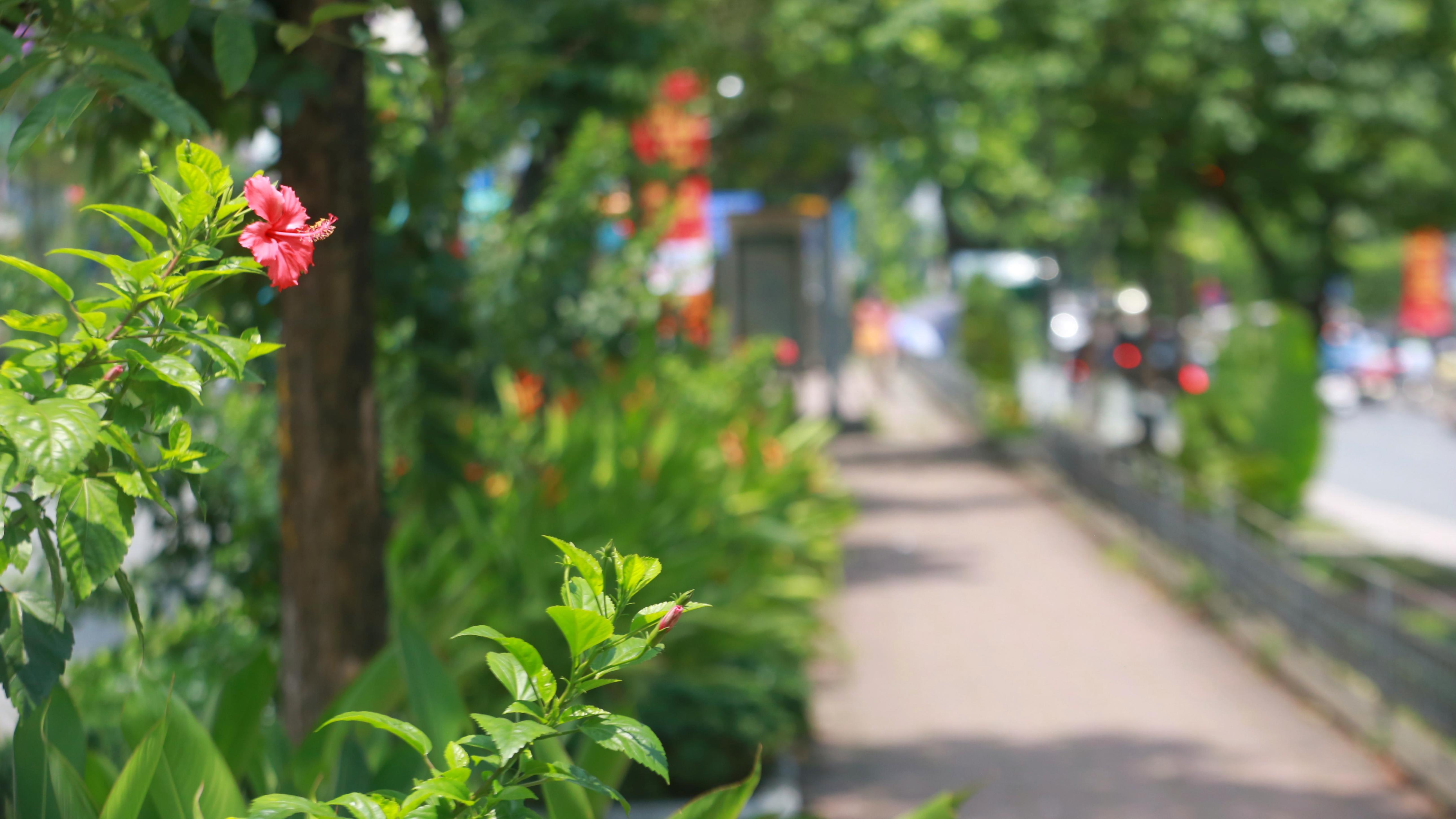 Đoạn đường Kim Mã từng di dời cây cổ thụ đang dần tái phủ xanh - Ảnh 12.