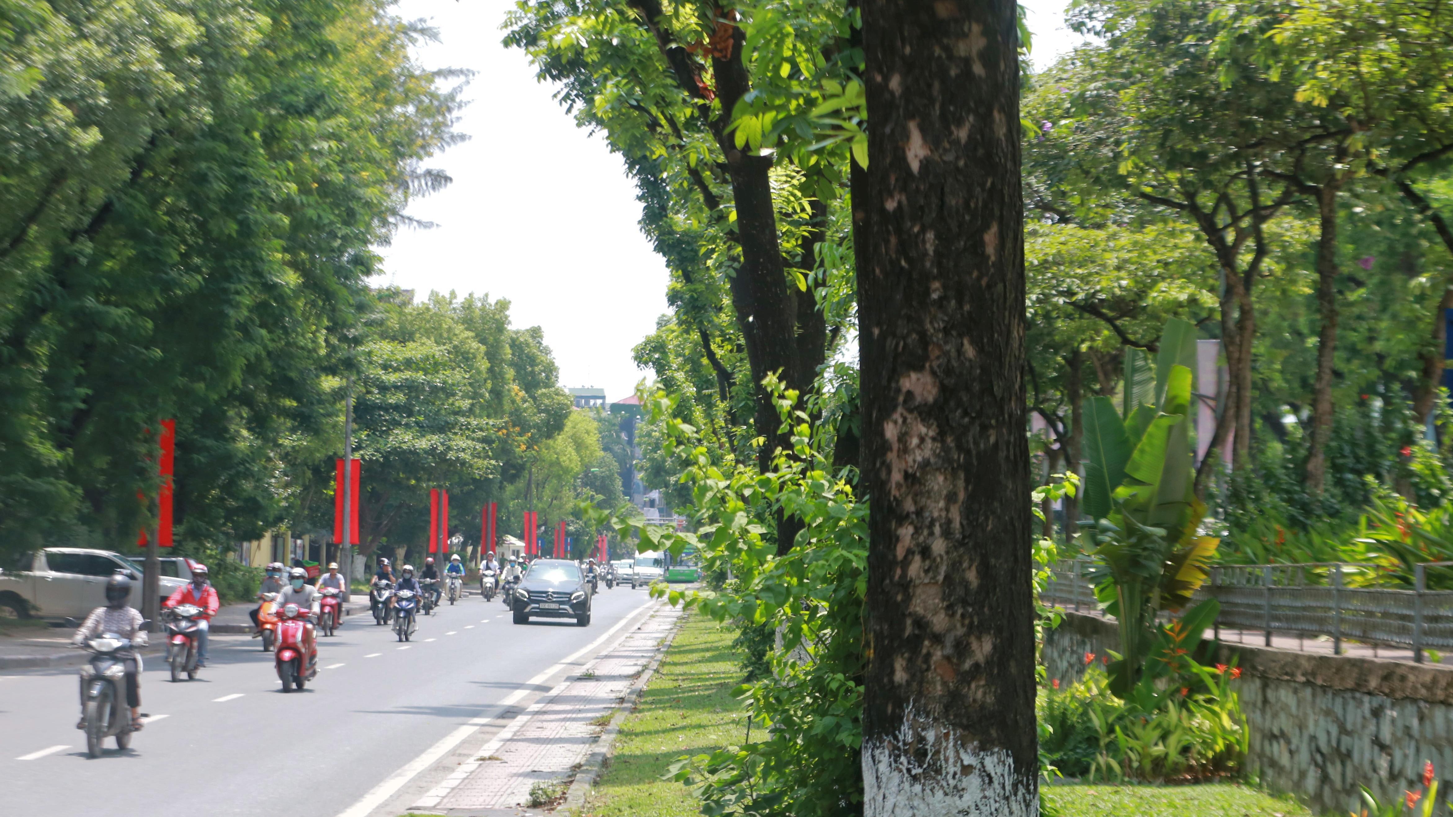Đoạn đường Kim Mã từng di dời cây cổ thụ đang dần tái phủ xanh - Ảnh 8.