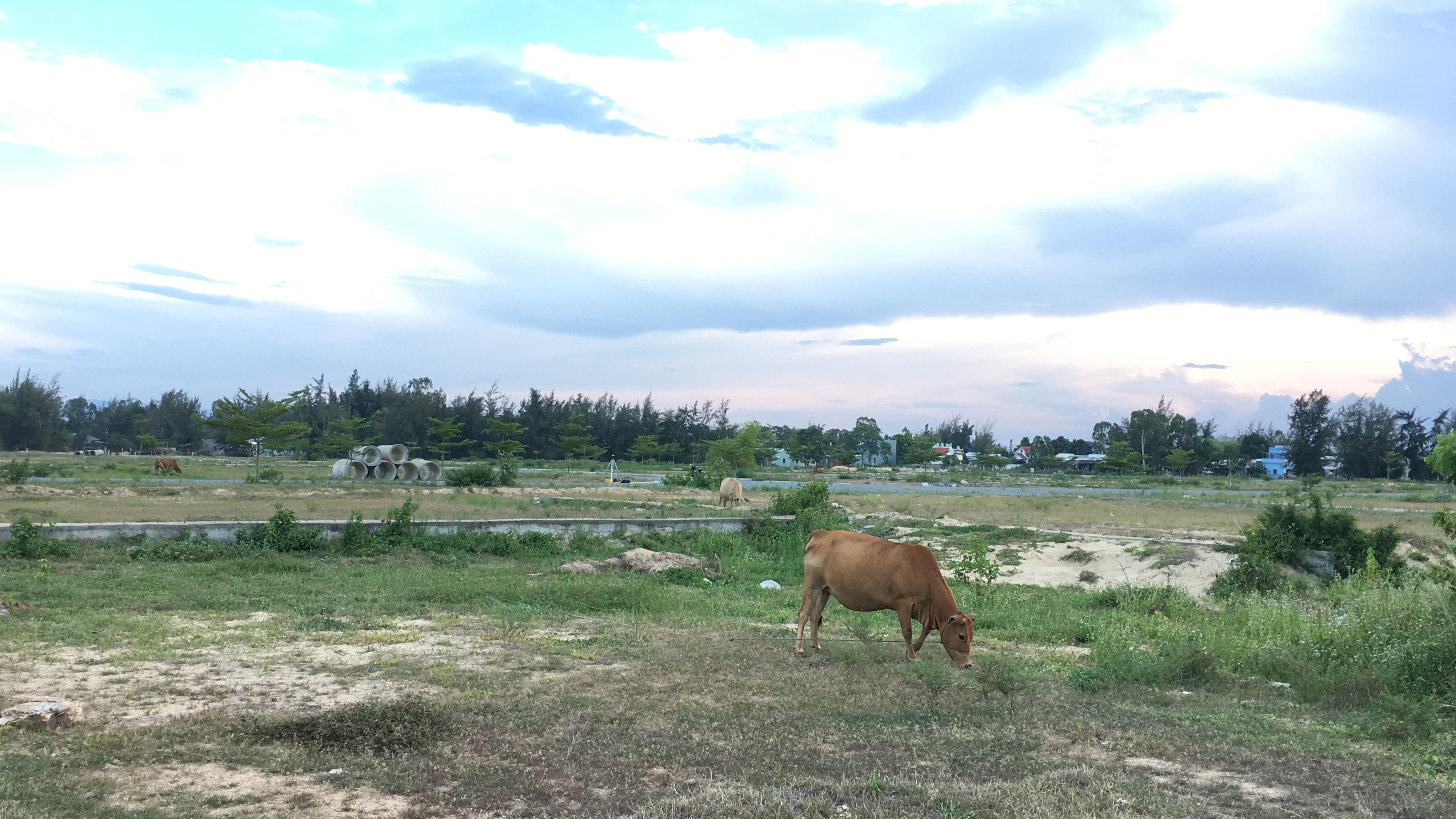 Quảng Nam: Dự án Khu đô thị 7B mở rộng hạ tầng dang dở, đang là nơi chăn thả bò - Ảnh 10.