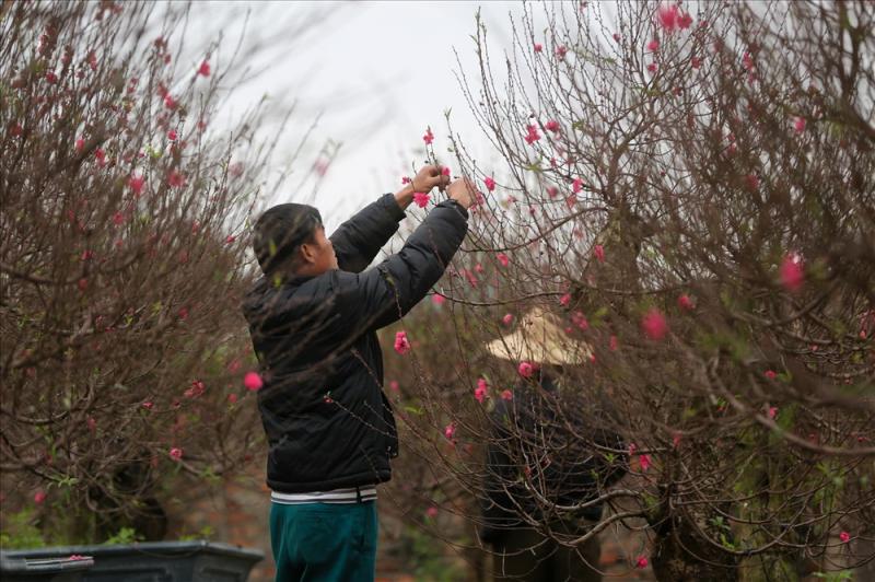 Gợi ý các địa chỉ bán hoa đào, hoa mai ngày Tết ở hai miền Bắc - Nam - Ảnh 6.