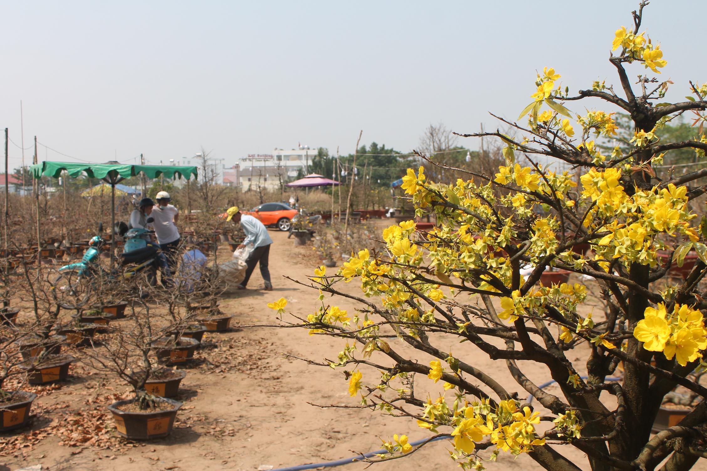 Gợi ý các địa chỉ bán hoa đào, hoa mai ngày Tết ở hai miền Bắc - Nam - Ảnh 9.