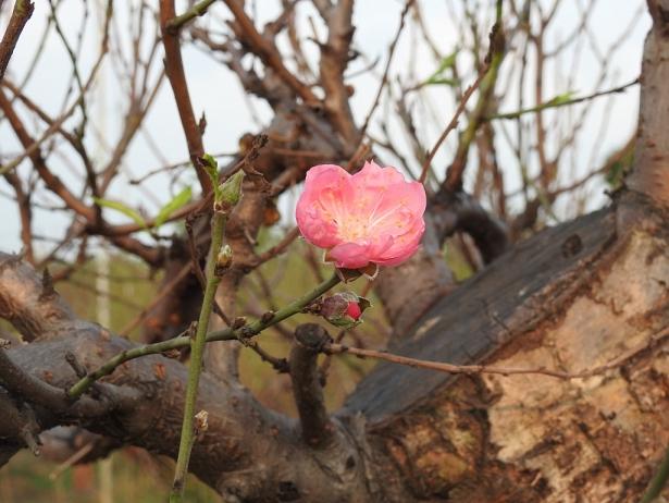Gợi ý các địa chỉ bán hoa đào, hoa mai ngày Tết ở hai miền Bắc - Nam - Ảnh 1.