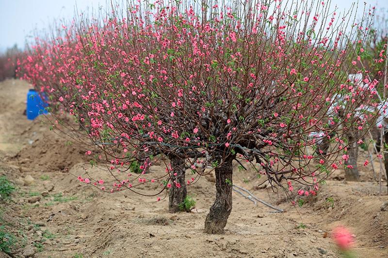 Gợi ý các địa chỉ bán hoa đào, hoa mai ngày Tết ở hai miền Bắc - Nam - Ảnh 2.