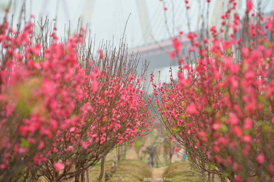 Gợi ý các địa chỉ bán hoa đào, hoa mai ngày Tết ở hai miền Bắc - Nam - Ảnh 4.