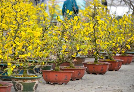 Gợi ý các địa chỉ bán hoa đào, hoa mai ngày Tết ở hai miền Bắc - Nam - Ảnh 7.