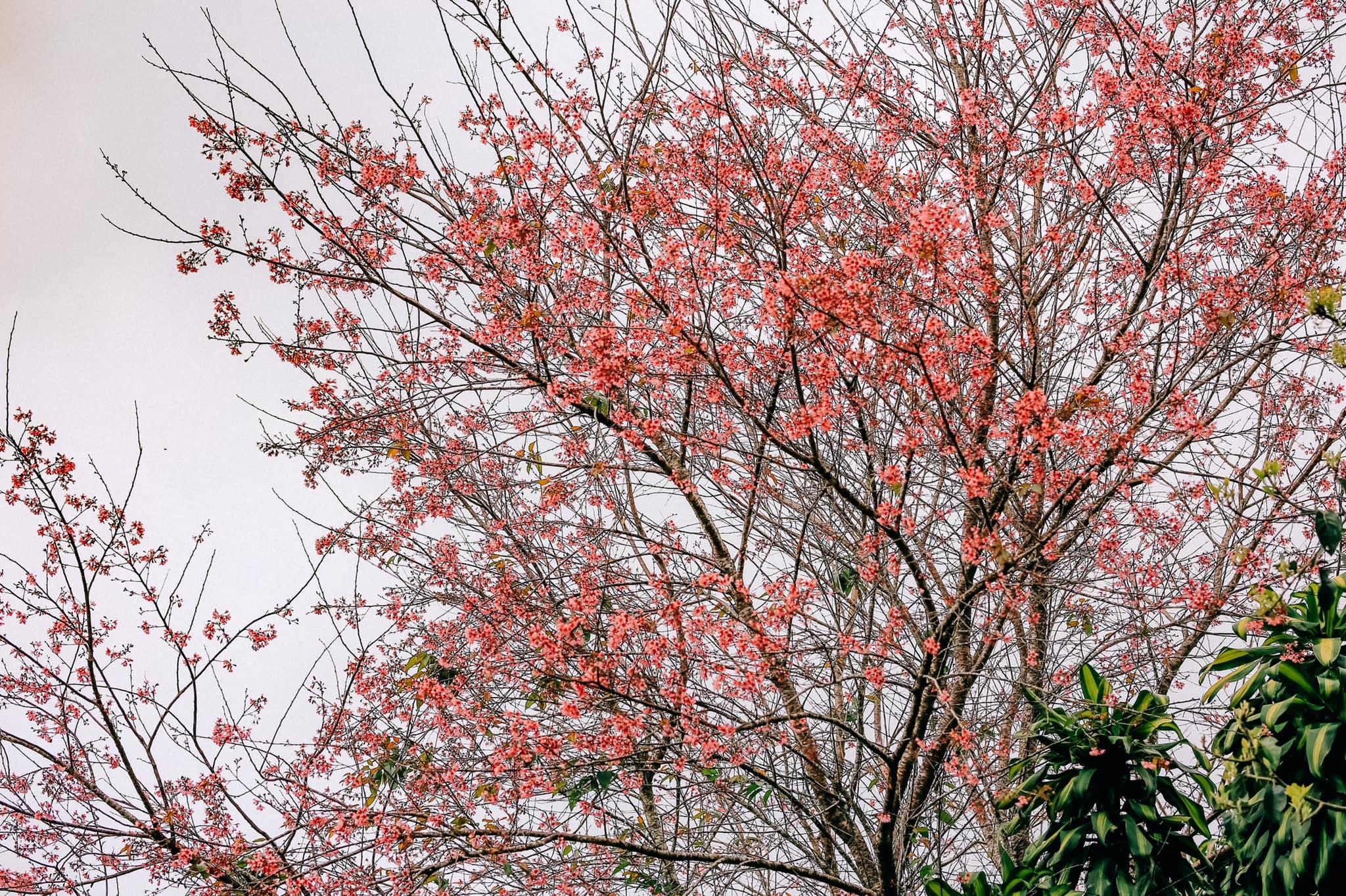 Những địa điểm ngắm hoa nổi tiếng trong mùa mai anh đào ở Đà Lạt  - Ảnh 7.