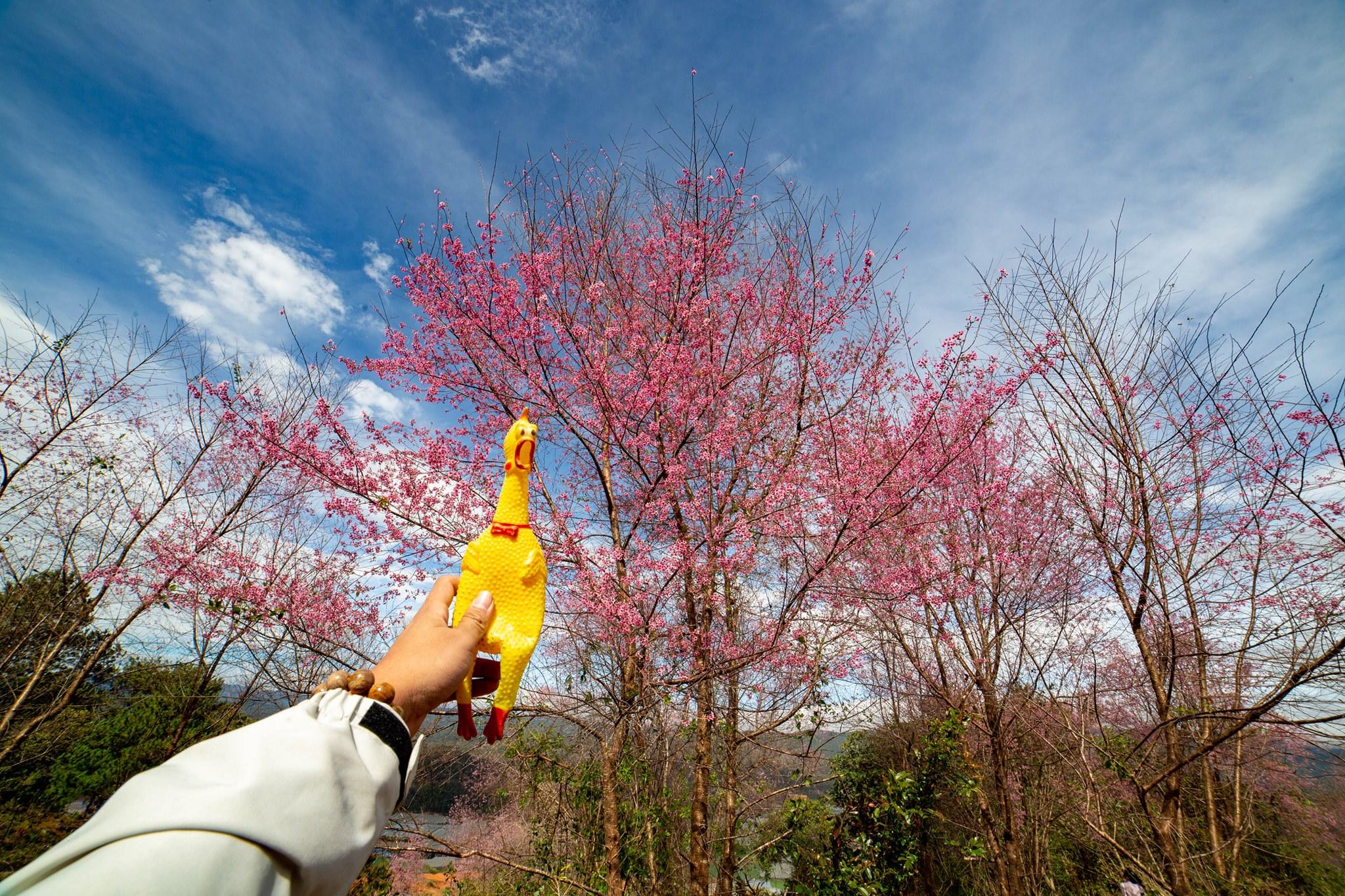 Những địa điểm ngắm hoa nổi tiếng trong mùa mai anh đào ở Đà Lạt  - Ảnh 2.