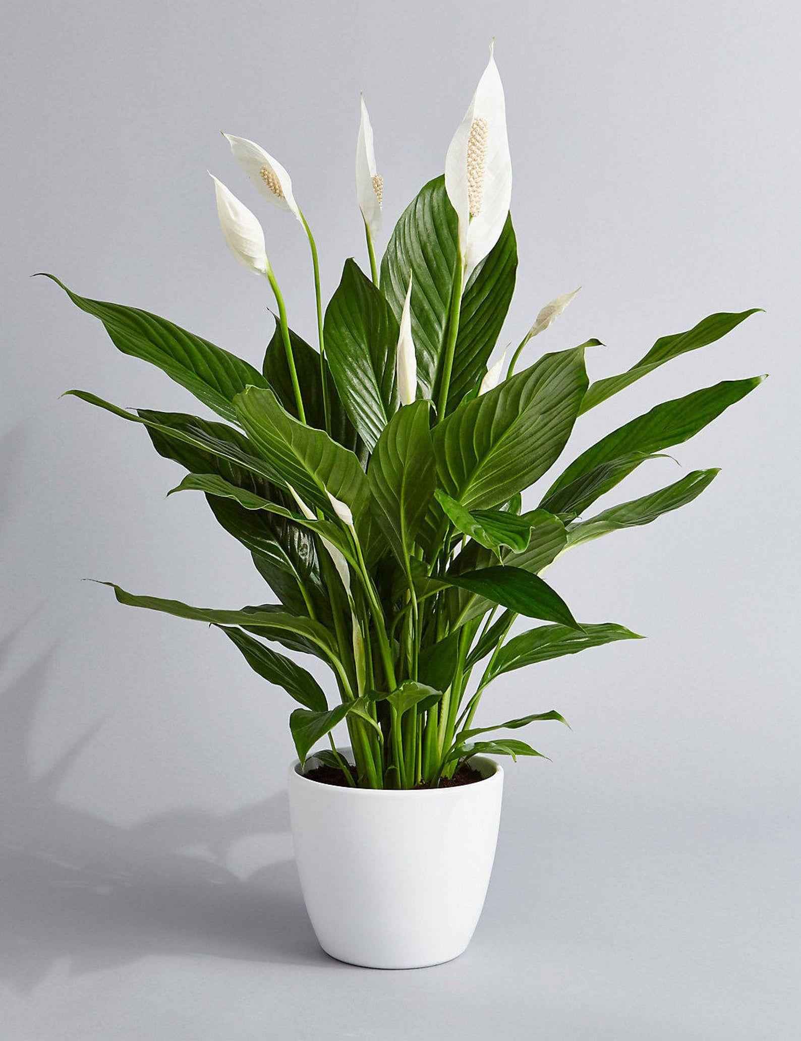 Top 9 loại cây giúp khử mùi hiệu quả trong nhà vệ sinh - Ảnh 9.