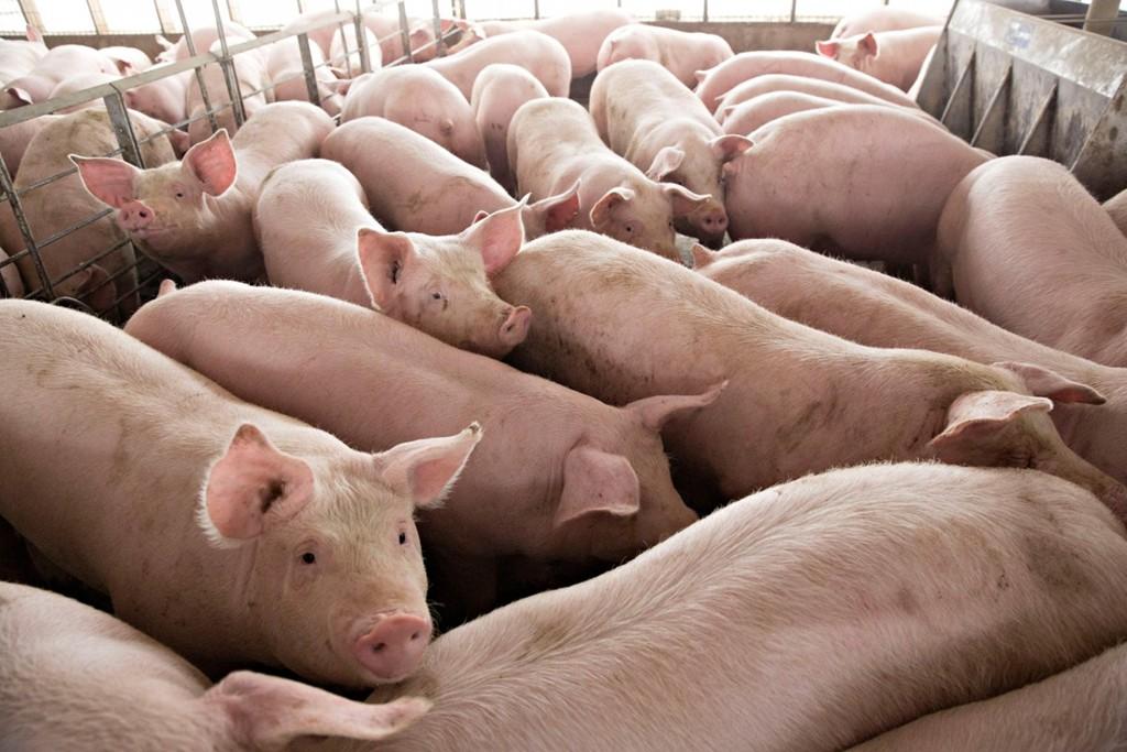 Giá thịt lợn leo thang buộc Trung Quốc kí thỏa thuận với ông Trump? - Ảnh 3.
