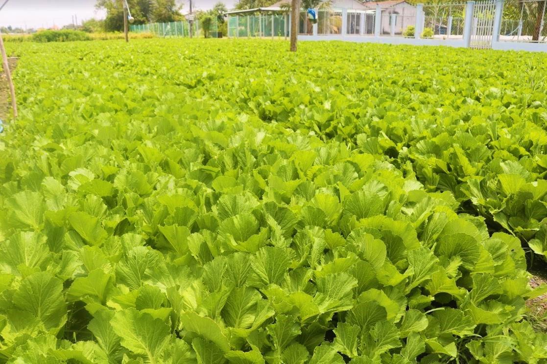 'Đột nhập' vùng trồng rau miền Tây tươi mướt như ở Đà Lạt cung cấp cho Bách Hóa Xanh - Ảnh 1.