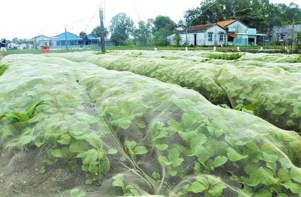'Đột nhập' vùng trồng rau miền Tây tươi mướt như ở Đà Lạt cung cấp cho Bách Hóa Xanh - Ảnh 3.