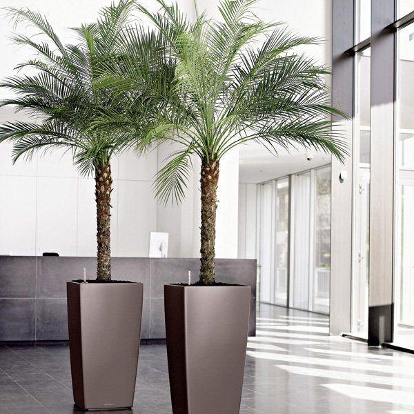 Pygmy-date-palm