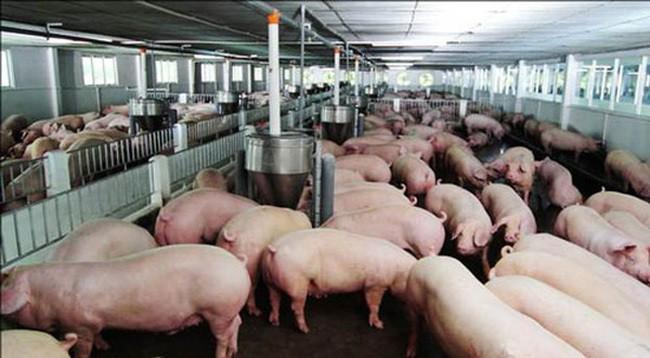 Nỗi buồn gà rẻ như rau, thịt lợn đắt kỉ lục, biết rồi nói mãi - Ảnh 2.