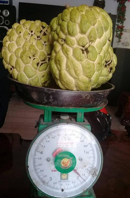 Na khổng lồ mỗi trái một kg ở miền Tây - Ảnh 1.