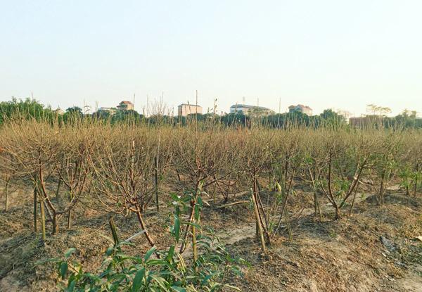 Cả vạn gốc đào chết khô, người Hà thành khóc ròng mùa Tết trắng tay - Ảnh 3.