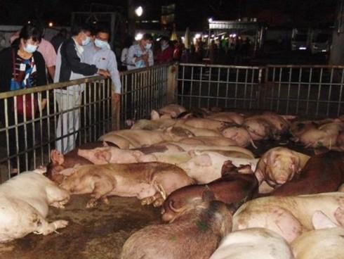 Sơn La xuất hiện dịch tả lợn Châu Phi ở huyện Thuận Châu - Ảnh 1.