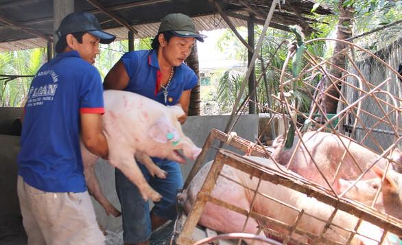 Người chăn nuôi đang 'bán đổ bán tháo' vì sợ dịch tả heo châu Phi, giá heo hơi đã giảm 10.000 đồng/kg - Ảnh 1.