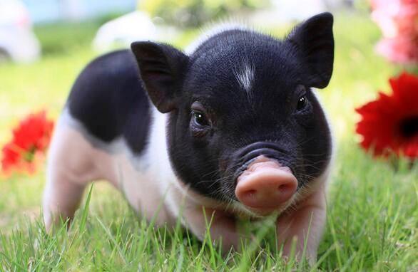 Bộ Nông nghiệp siết buôn bán lợn cảnh mini, nghi ngờ nguồn lây lan dịch tả châu Phi - Ảnh 1.