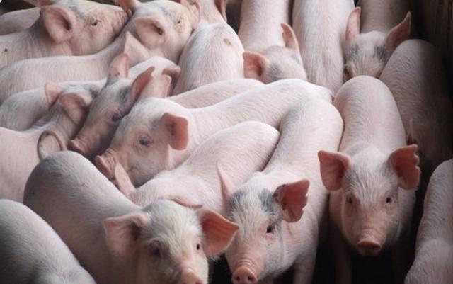 2,5 triệu hộ chăn nuôi lợn chịu ảnh hưởng của dịch tả lợn châu Phi - Ảnh 1.