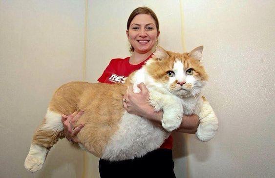 Ngắm những chú mèo béo nhưng vẫn sang chảnh nhất thế giới,  - Ảnh 6.