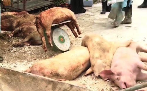 Đà Nẵng quyết liệt chống dịch tả lợn châu Phi trước nguy cơ lây lan - Ảnh 1.