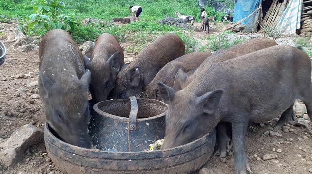 Chính phủ yêu cầu bãi bỏ quy định lợn không được ăn cây chuối - Ảnh 1.