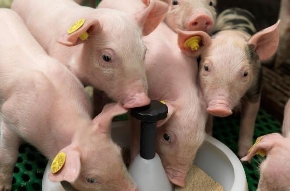 Dự báo giá heo hơi ngày 15/4: Huế hỗ trợ chủ chăn nuôi có heo bị tiêu hủy do dịch - Ảnh 1.