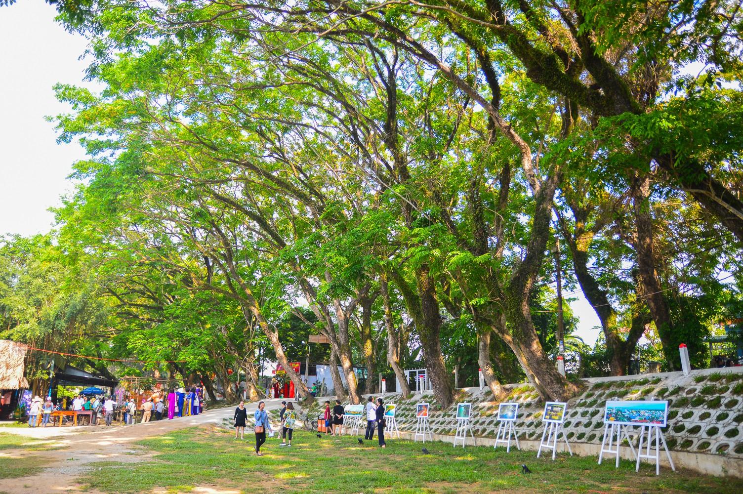 Mùa hoa sưa vàng trời Quảng Nam khiến bao người thổn thức - Ảnh 2.