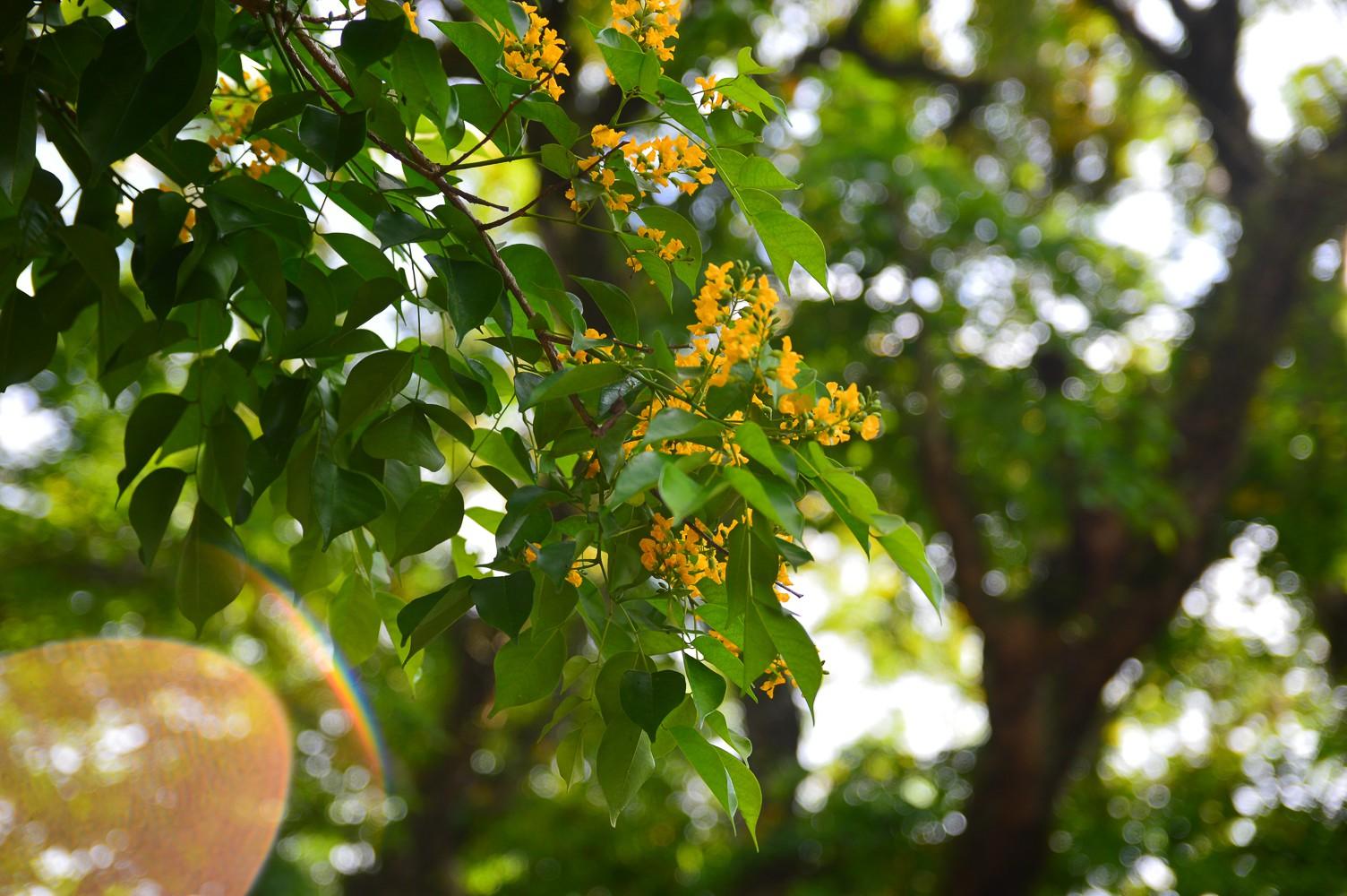 Mùa hoa sưa vàng trời Quảng Nam khiến bao người thổn thức - Ảnh 3.