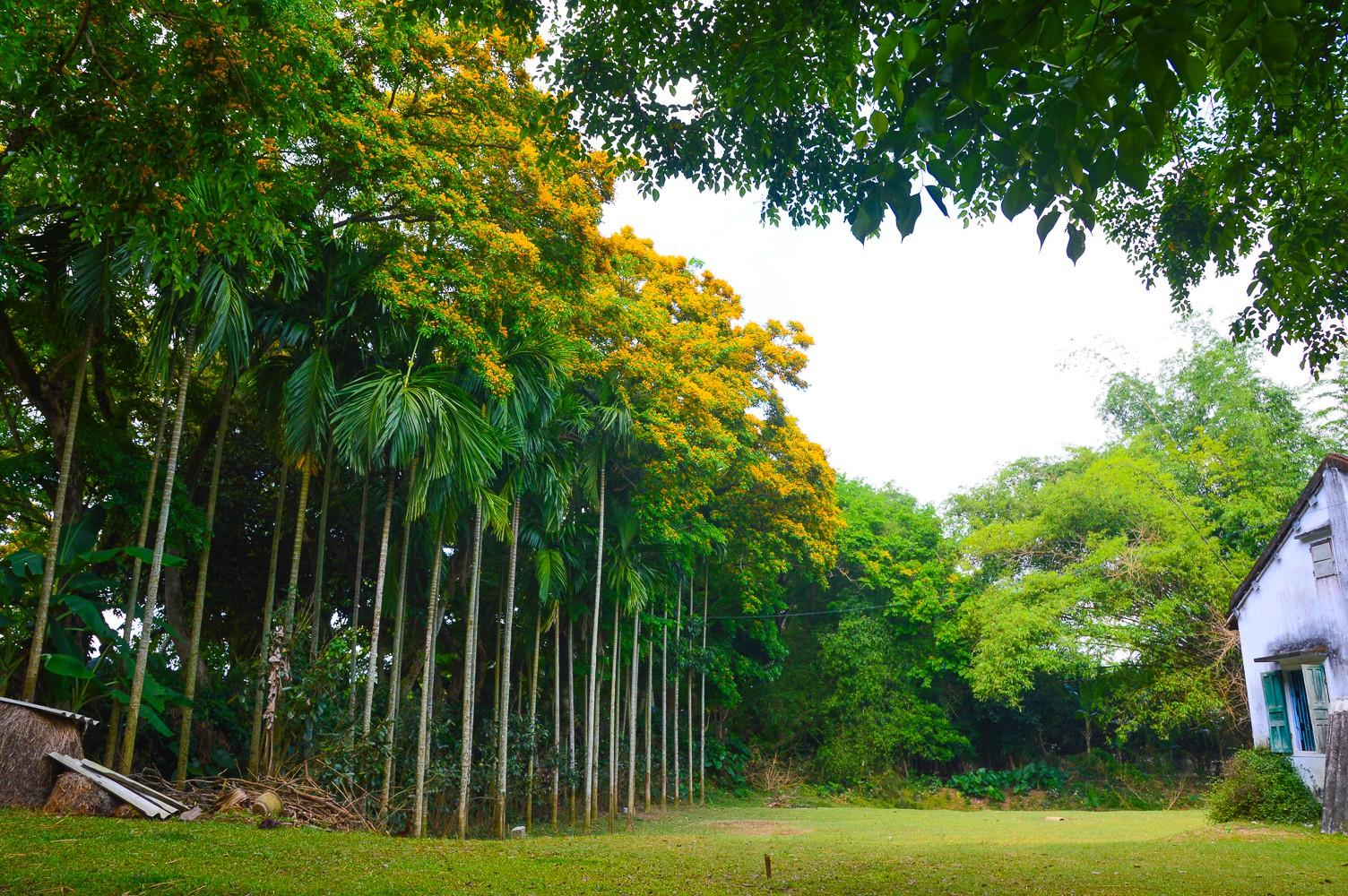 Mùa hoa sưa vàng trời Quảng Nam khiến bao người thổn thức - Ảnh 4.