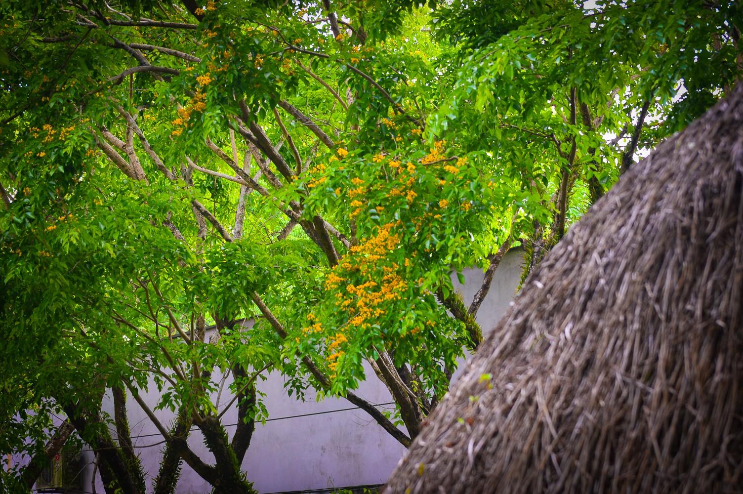 Mùa hoa sưa vàng trời Quảng Nam khiến bao người thổn thức - Ảnh 5.