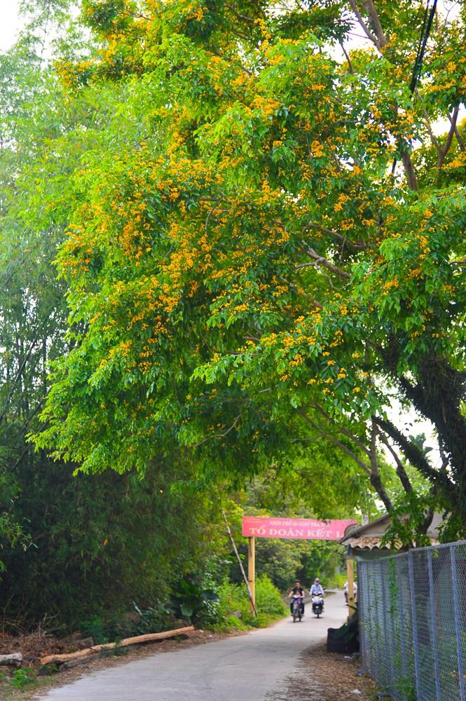 Mùa hoa sưa vàng trời Quảng Nam khiến bao người thổn thức - Ảnh 7.