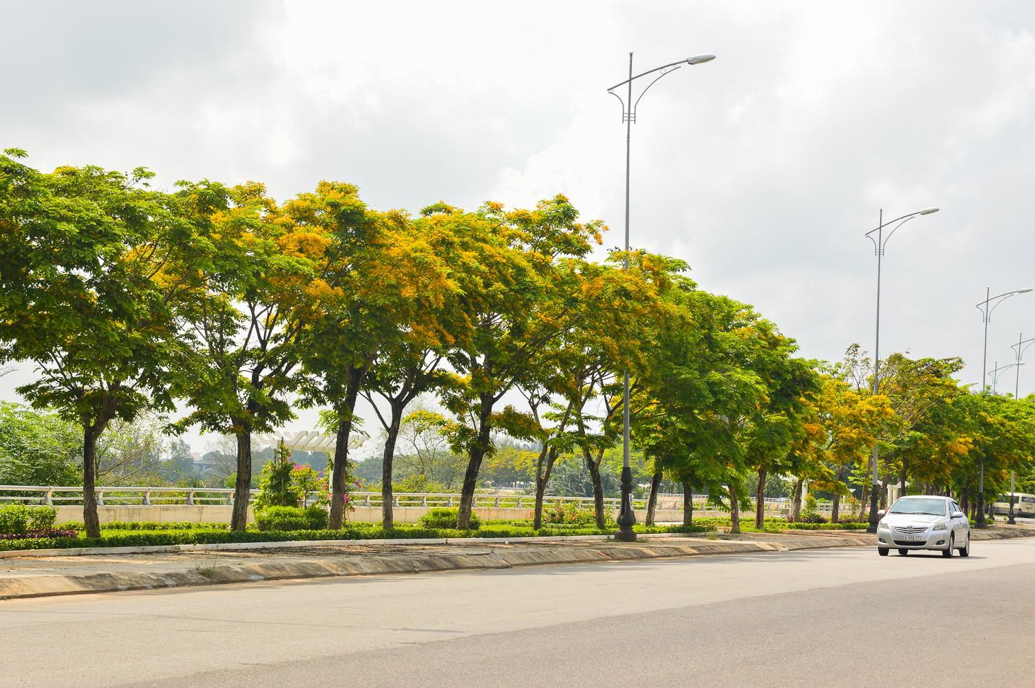 Mùa hoa sưa vàng trời Quảng Nam khiến bao người thổn thức - Ảnh 8.