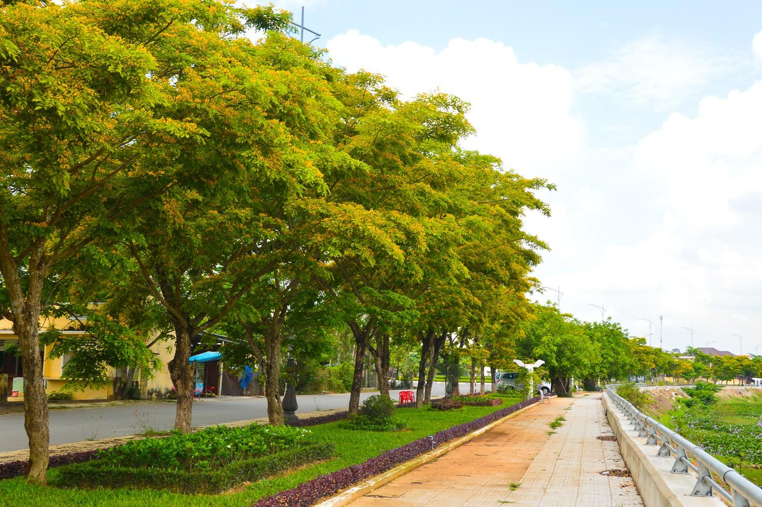 Mùa hoa sưa vàng trời Quảng Nam khiến bao người thổn thức - Ảnh 9.