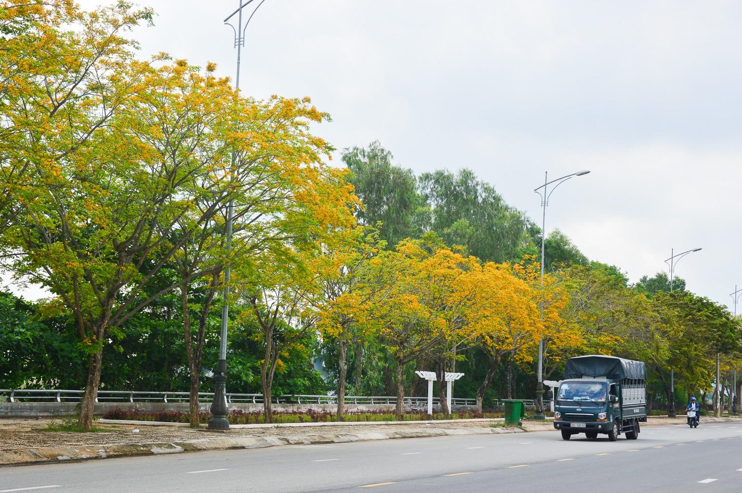 Mùa hoa sưa vàng trời Quảng Nam khiến bao người thổn thức - Ảnh 10.