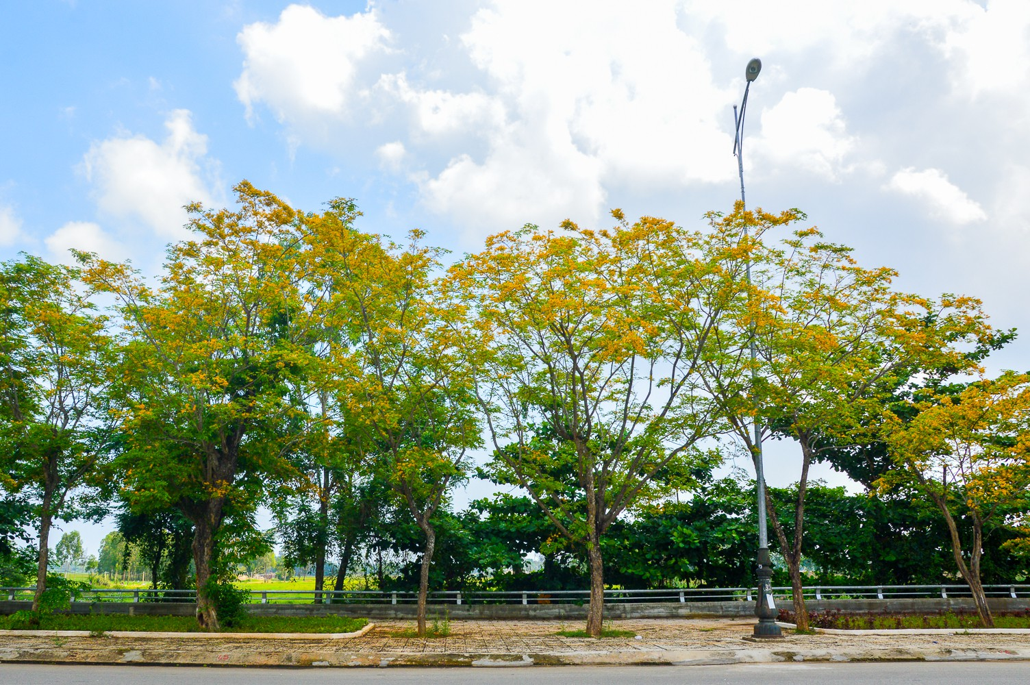 Mùa hoa sưa vàng trời Quảng Nam khiến bao người thổn thức - Ảnh 11.