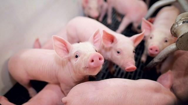 Dự báo giá heo hơi ngày 10/4: Người chăn nuôi Hà Nội được hỗ trợ 80% giá thị trường trước dịch tả heo - Ảnh 1.
