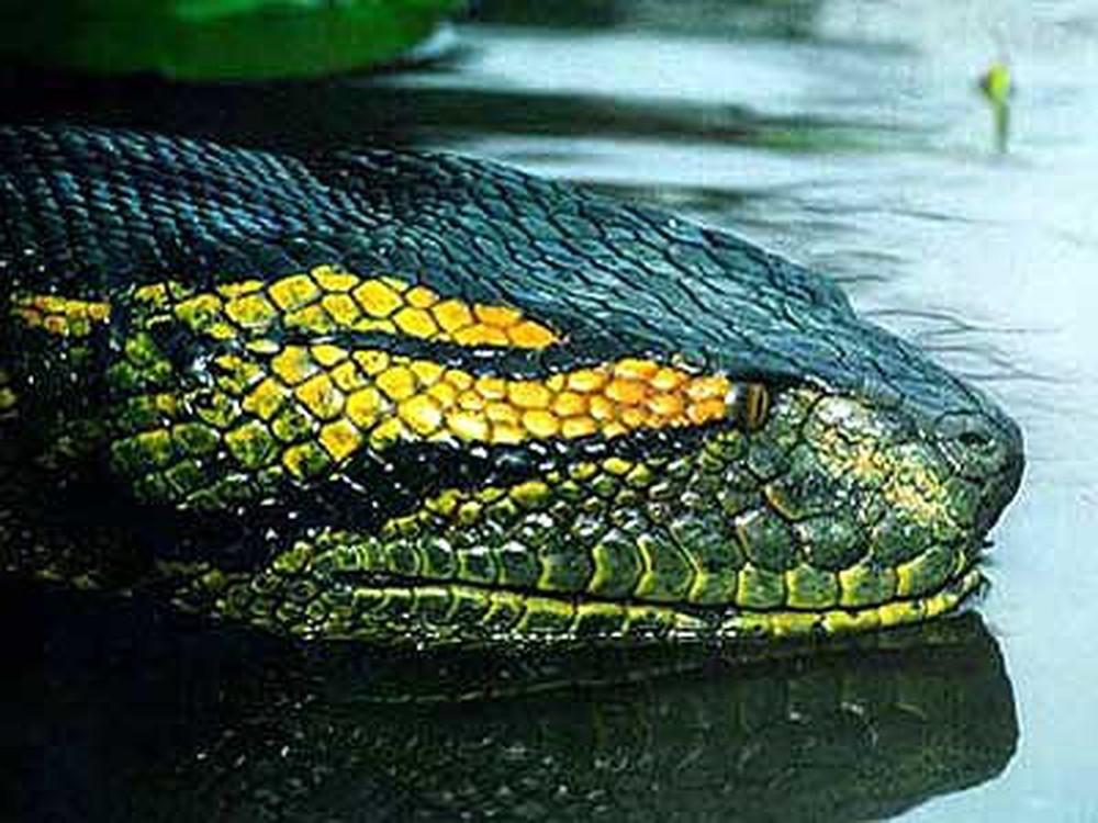 Rắn hổ mây là gì? Loại rắn này nguy hiểm cỡ nào, sau khi bị cắn bao lâu thì mất mạng? - Ảnh 1.