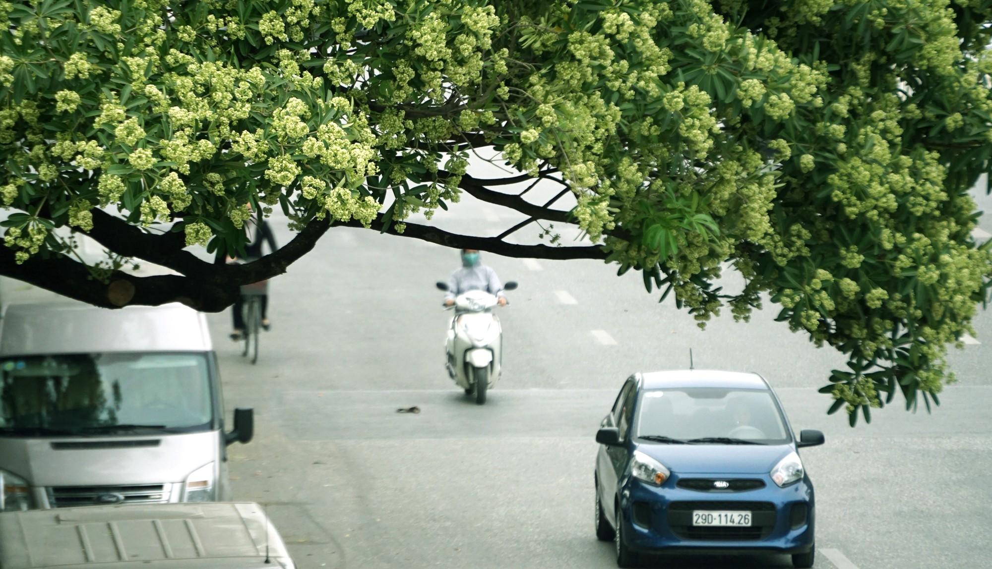Hà Nội: Đầu hè, hoa sữa bất ngờ nở trên nhiều tuyến phố  - Ảnh 10.