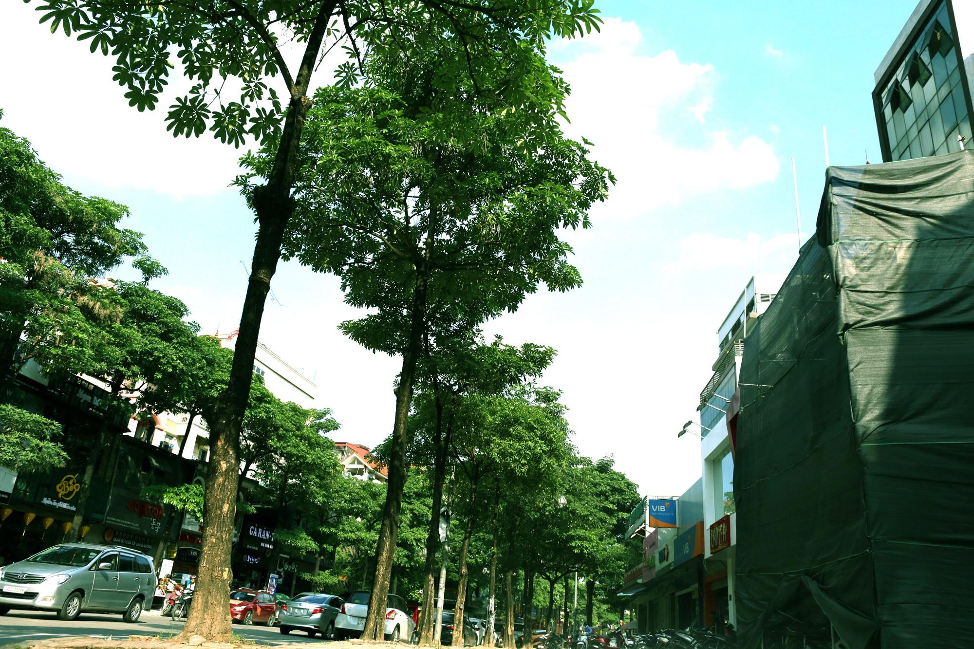 Hà Nội: Đầu hè, hoa sữa bất ngờ nở trên nhiều tuyến phố  - Ảnh 2.